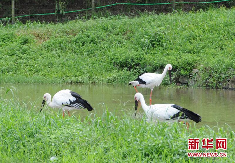 白鹤疗伤传说中的白鹤其实是鹳,离城崎温泉街不远处就有一个鹳自然