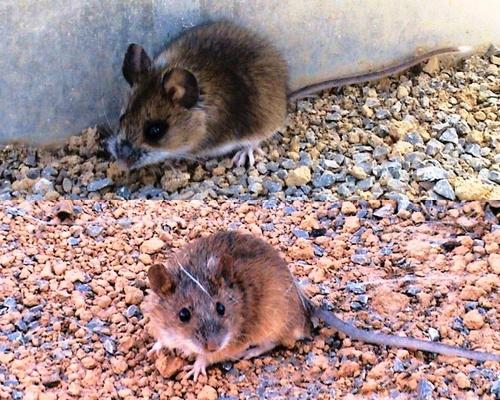 传统的观点认为,很多植物种子中含有一定量的单宁等化合物,用于抵御啮齿动物的取食,提高种子的存活机会。中国科学院西双版纳热带植物园动植物关系研究组王博博士和陈进研究员最新的研究表明,埋藏种子的老鼠喜欢取食带涩味的种子,植物种子中一定含量的单宁可能不能减低啮齿动物的取食。研究结果已发表在国际杂志PLoS ONE上。   具有埋藏种子习性的啮齿动物对多种植物的种子散布、幼苗建成和空间分布格局等有着十分重要的影响,因它们在取食种子的同时对部分种子进行搬运和埋藏,从而起到散布种子的作用;种子性状(如:大小、营养