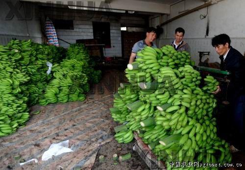 在广西南宁市隆安县县布潭乡,村民把刚刚摘收的香蕉运到收购站销售.