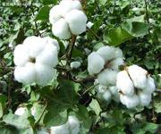 印度棉花出口禁令出台