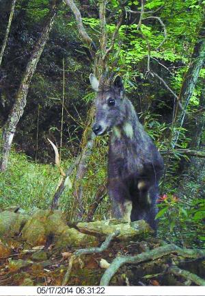 红外相机下的珍稀野生动物