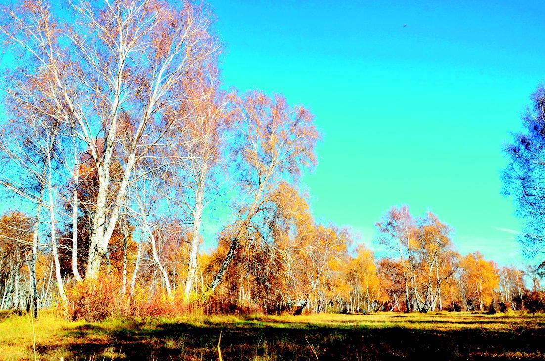 哈巴河白桦林位于新疆阿勒泰地区哈巴河县境内,林带长约28公里,宽